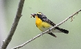a narcissus flycatcher