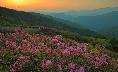 Beautifully blossoming royal azaleas